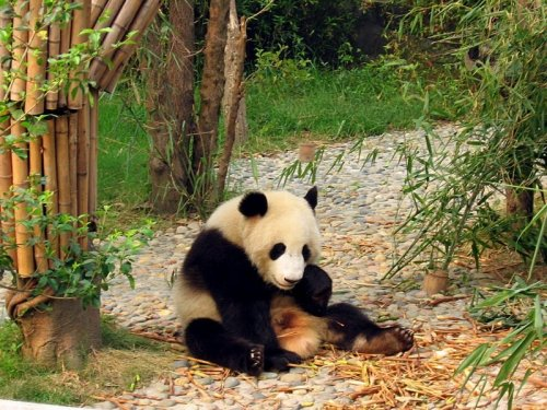 800px-chengdu-pandas-d13