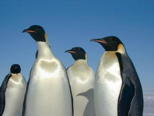 emperor_penguins