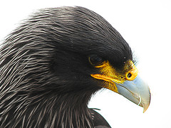 striated-caracara-johnny-rook