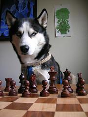 Chess Pooch